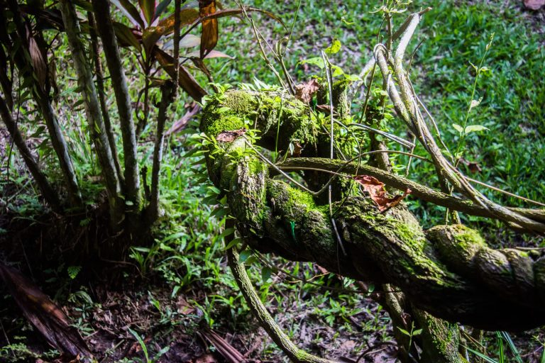 Причудливые стебли Аяуаски