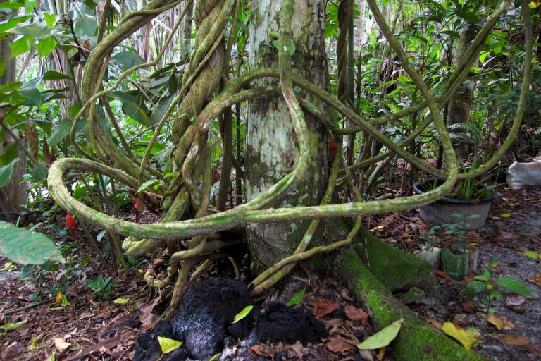 Trunk of Ayahuasca can grow up to 1 m in diameter