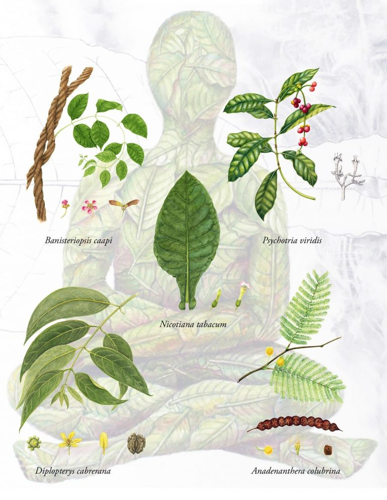 La Ayahuasca — una misteriosa combinación de dos plantas