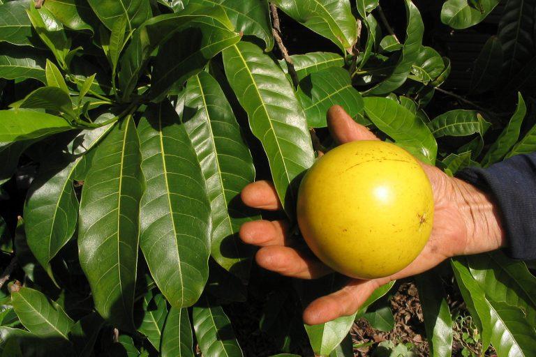 Каймито — звездчатое яблоко джунглей